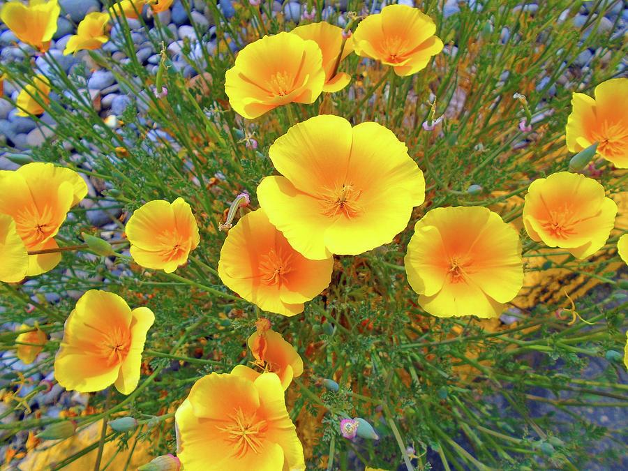Oakhurst Poppies Photograph