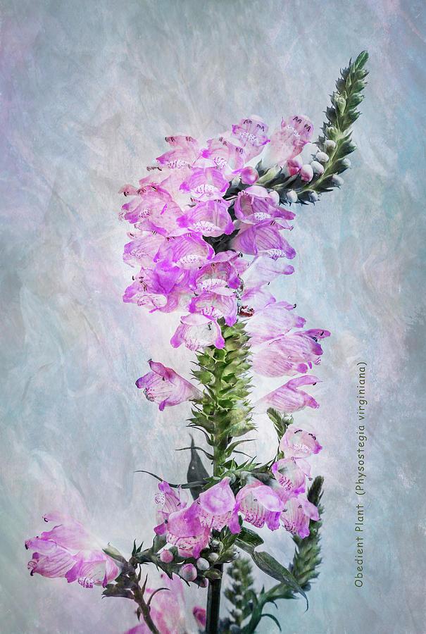 Obedient Plant Portrait by Patti Deters