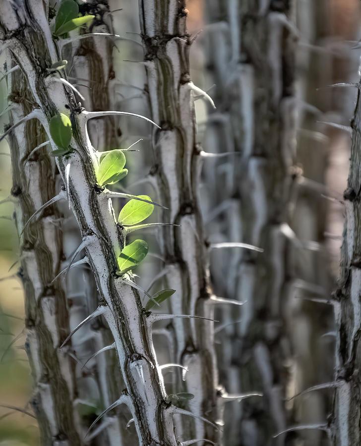 Ocotillo Leaves Photograph