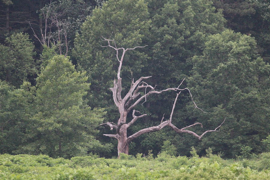 Tree Photograph - Old Jackson by Callen Harty
