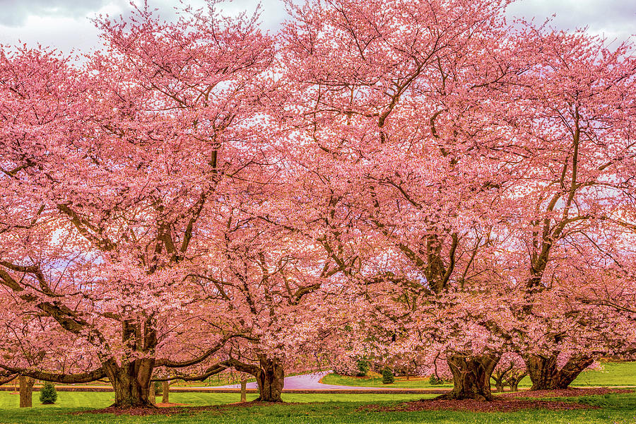 Old Japanese Flowering Cherries At Longwood Gardens Photograph By
