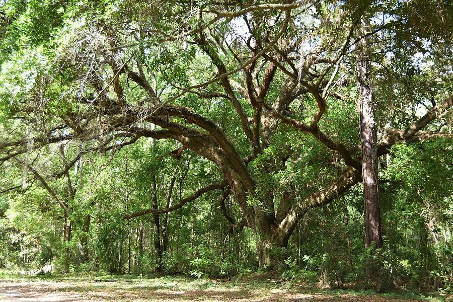 Old Live Oak Tree Photograph
