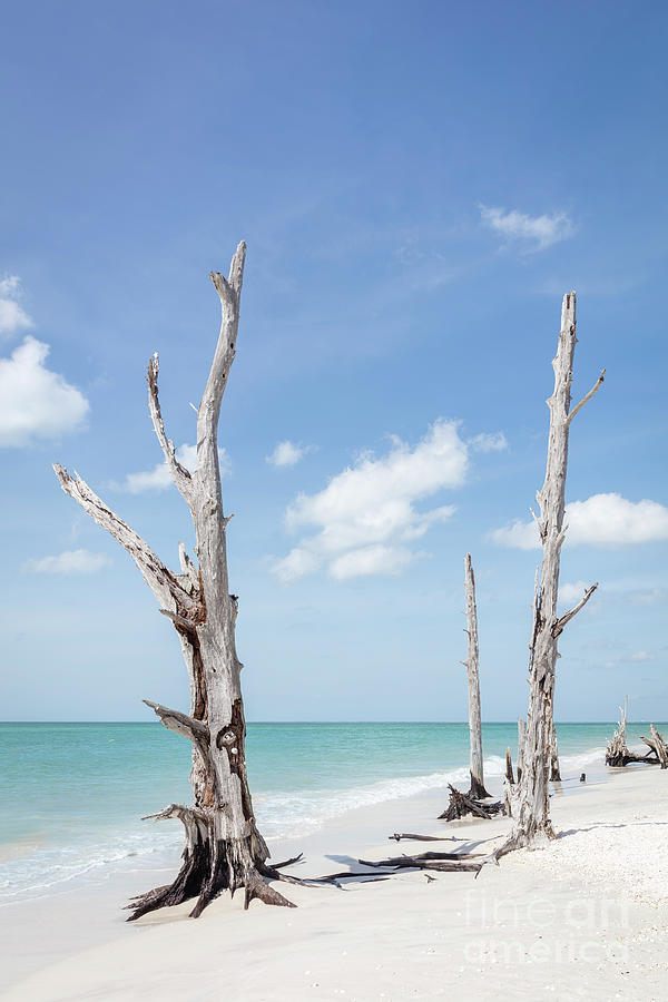 Old Trees On The Beach - Florida Photograph