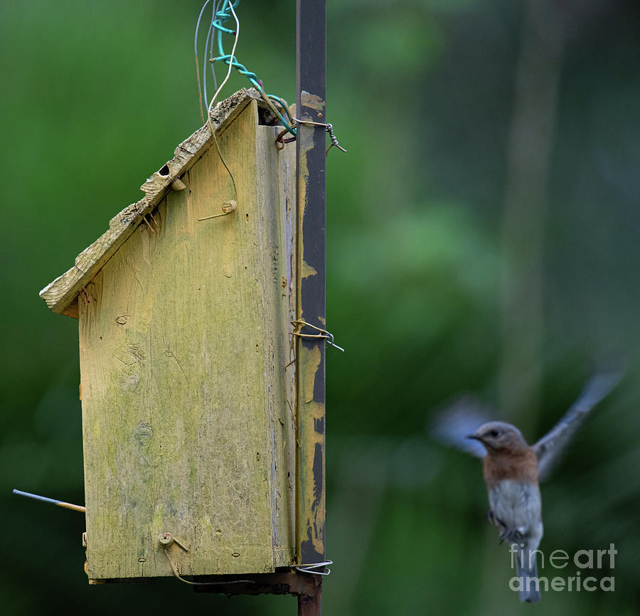 On Final Approach - Blue Bird Photograph