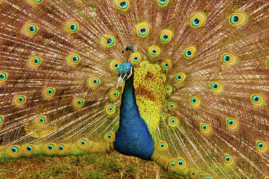 On this special family day in America the Peacock loudly Proclaims I AM NOT A TURKEY by Rusty R Smith