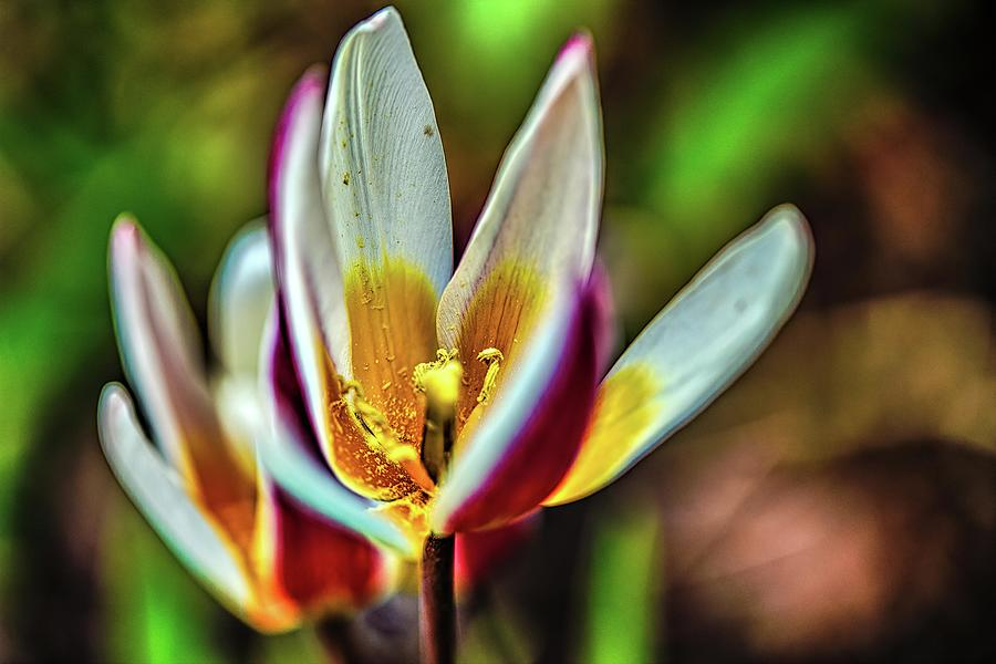 Open Tulip #k0 Photograph