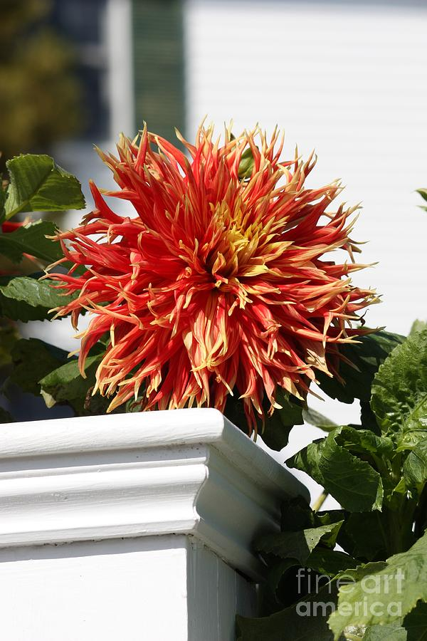 Dahlia Photograph - Orange Dahlia over White Post by Carol Groenen