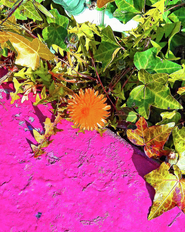 Orange Dandelion on Pink Concrete by Andrew Lawrence