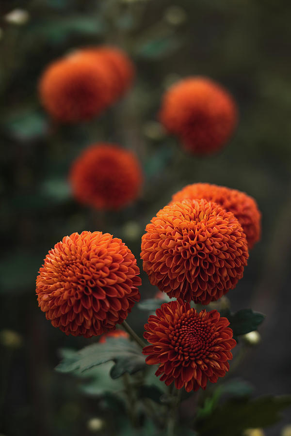 Flowers Photograph - Orange Flowers In Nepal  by Julius Thomas