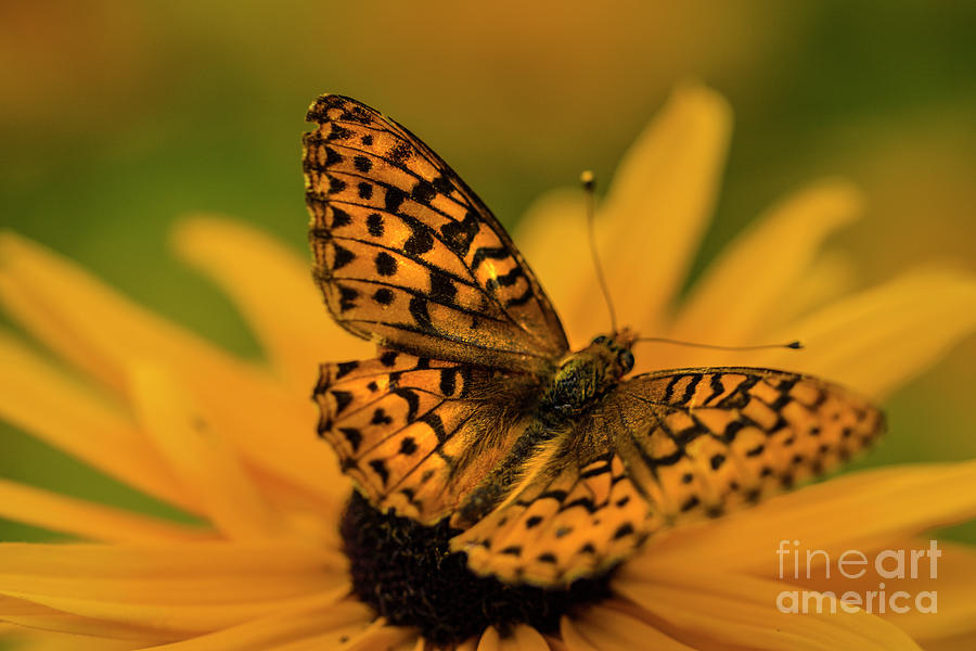 Orange Fluff Wings Photograph