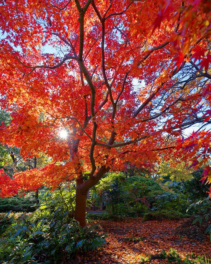 Orange Maple Photograph