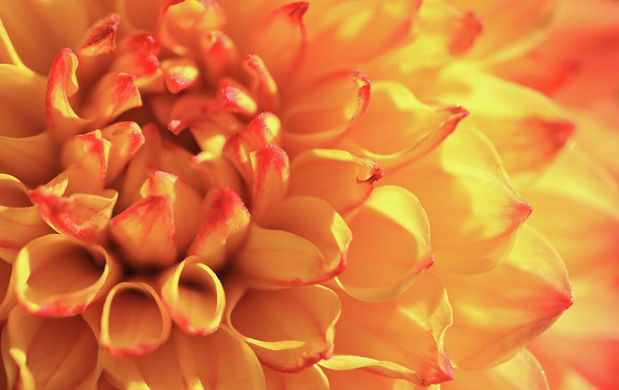 Orange Mirella Dahlia Flower Photograph by Trevor Slauenwhite