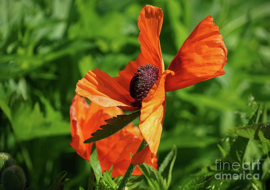 Orange Poppy Twirl Photograph