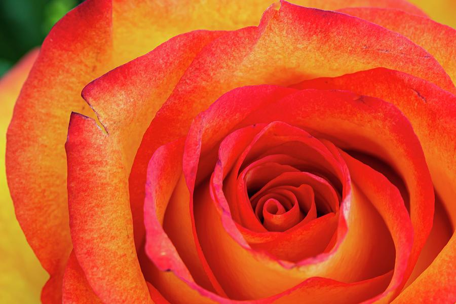 Orange Rose Photograph