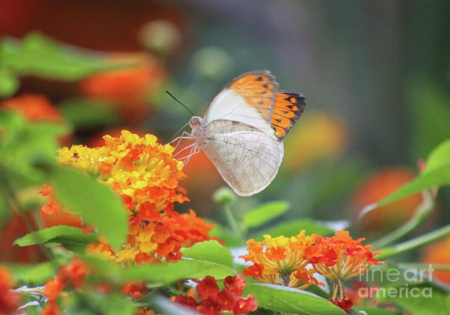 Orange Tip Butterfly In Lantana Flowers Photograph