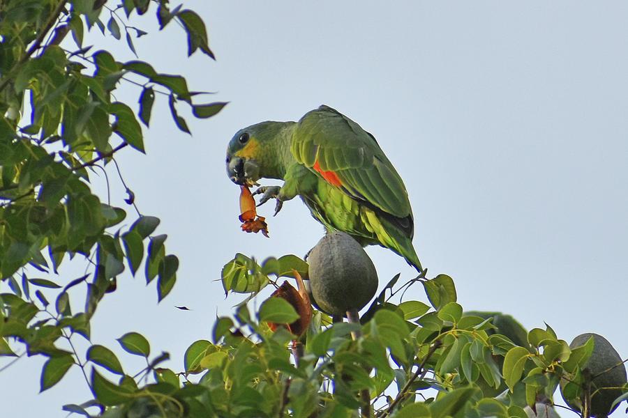 Orange Winged Parrot Photograph