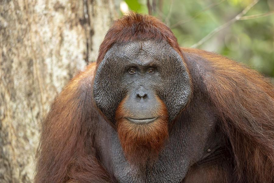 Orangutan in Tanjung Puting National Park Photograph by Richard McManus