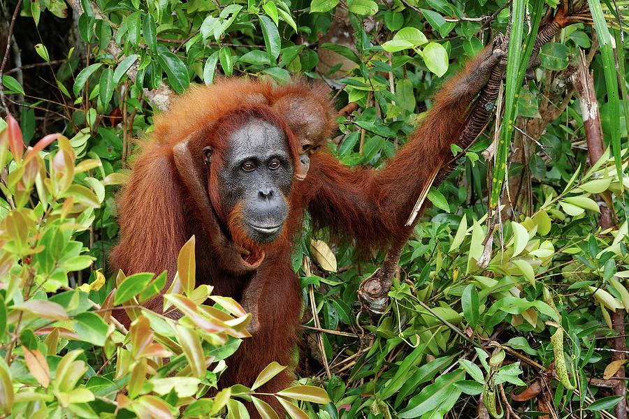 Orangutan Photograph - Orangutan with cub in the rainforest by Ralf Lehmann