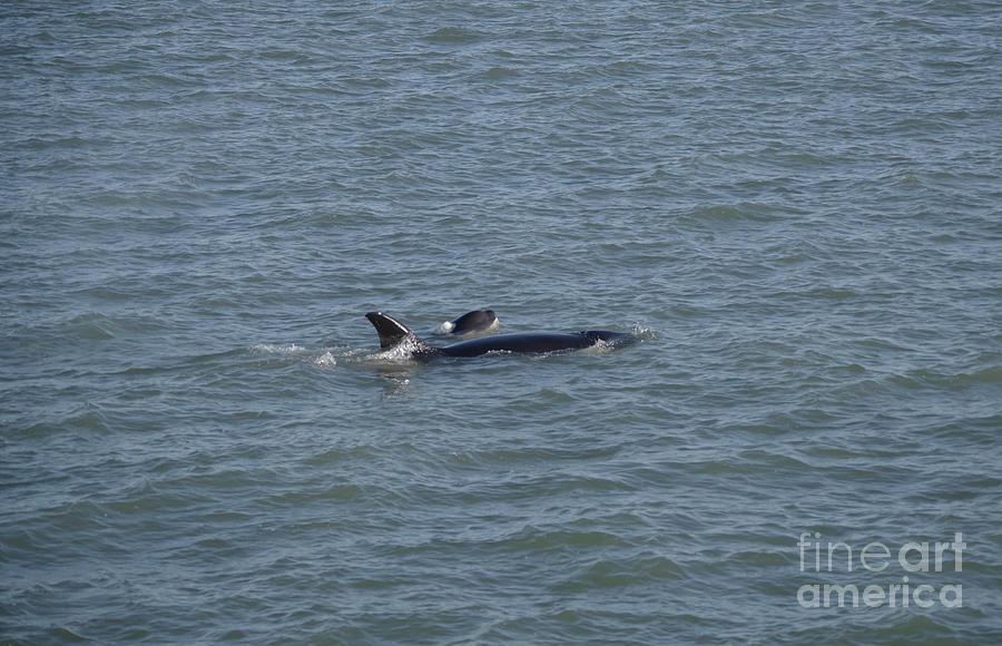Orca And Calf Photograph