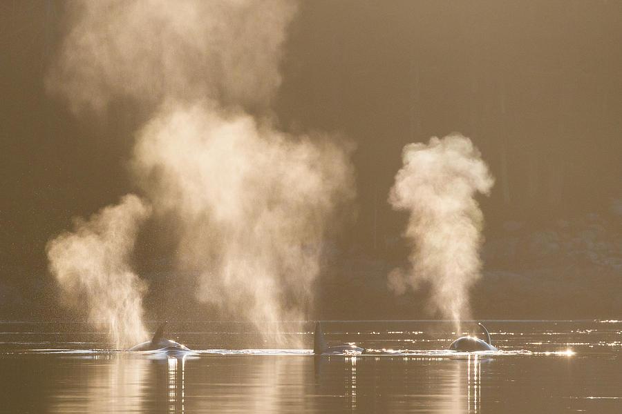 Orca Dawn Patrol Photograph by Matt Morrissette