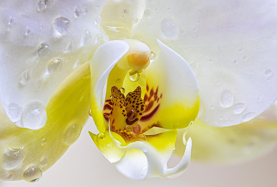 Orchid Dew Photograph