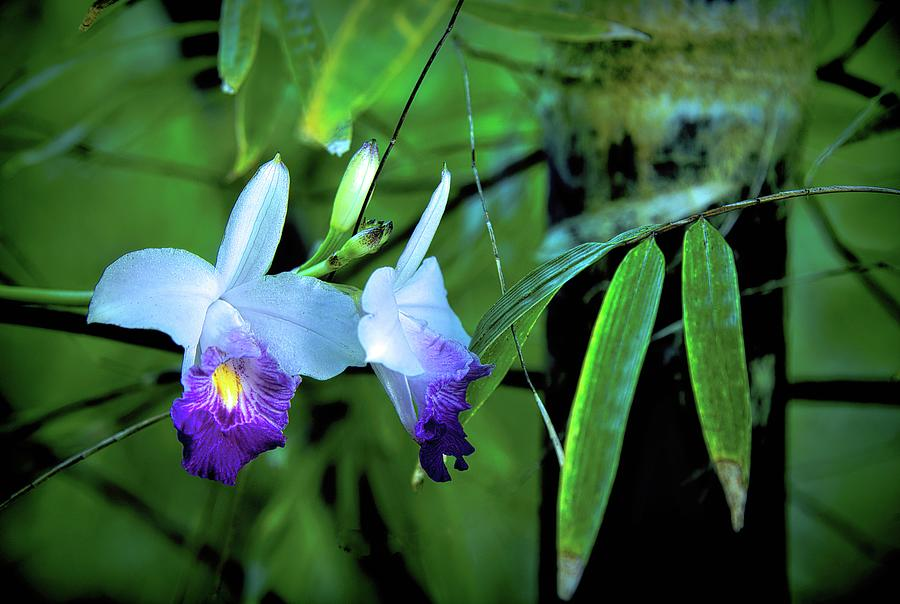 Orchids And Black Bamboo Photograph