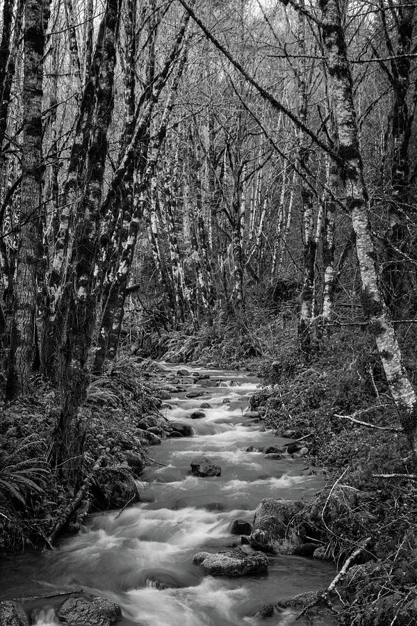 Alder Trees Photograph - Oregon Mountain Stream and Alder Trees by Catherine Avilez