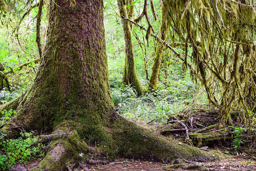 Oregon Rainforest Photograph