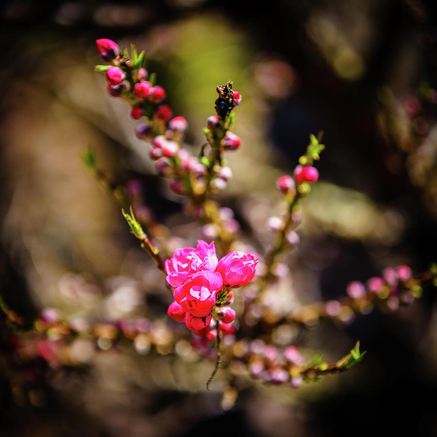 Ornamental Peach Tree Bud Photograph