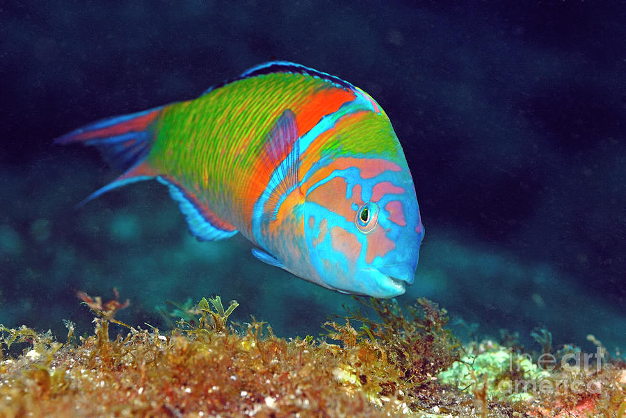 Ornate Wrasse Photograph by Hans Leijnse