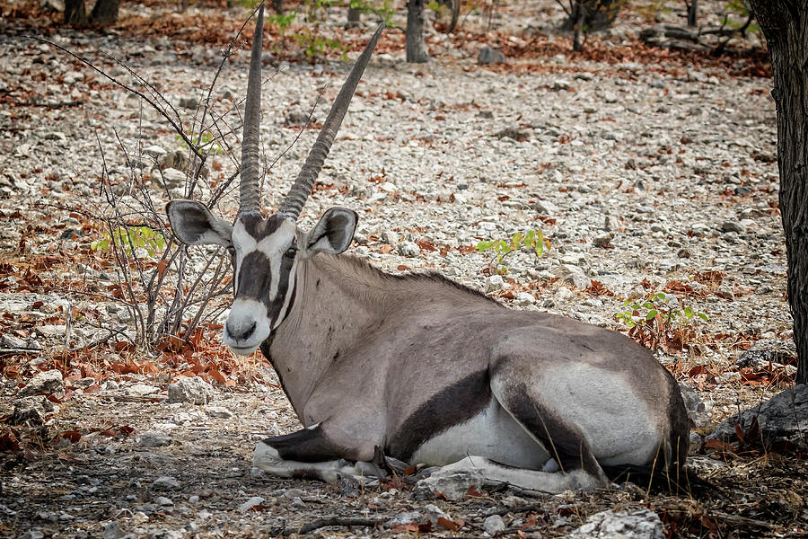 Oryx Taking a Rest During Mid-day Heat by Belinda Greb