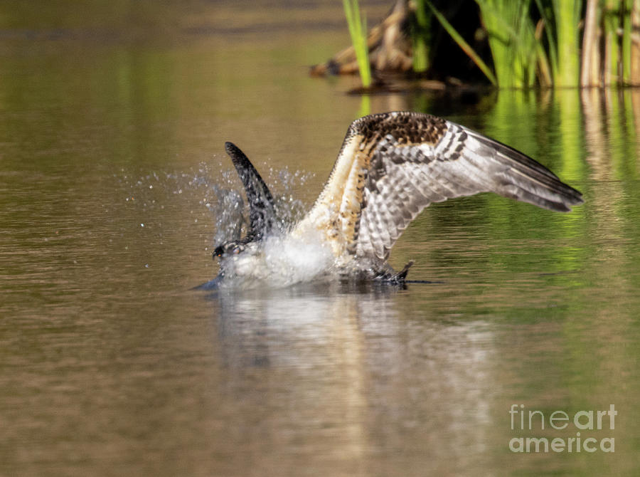 Osprey Diving In For A Fish In Eleven Mile Canyon Photograph