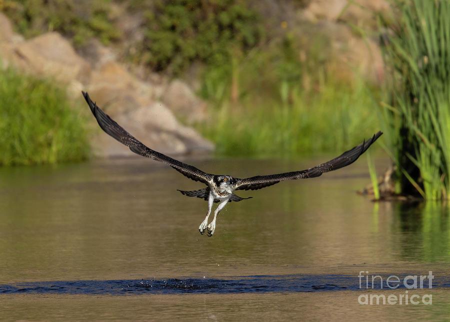 Osprey Escaping The River Photograph