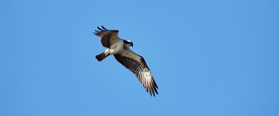 Osprey Eyes Photograph