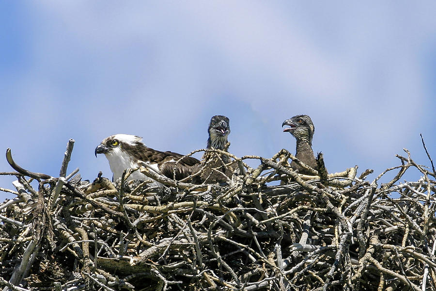 Osprey family by Ronnie and Frances Howard