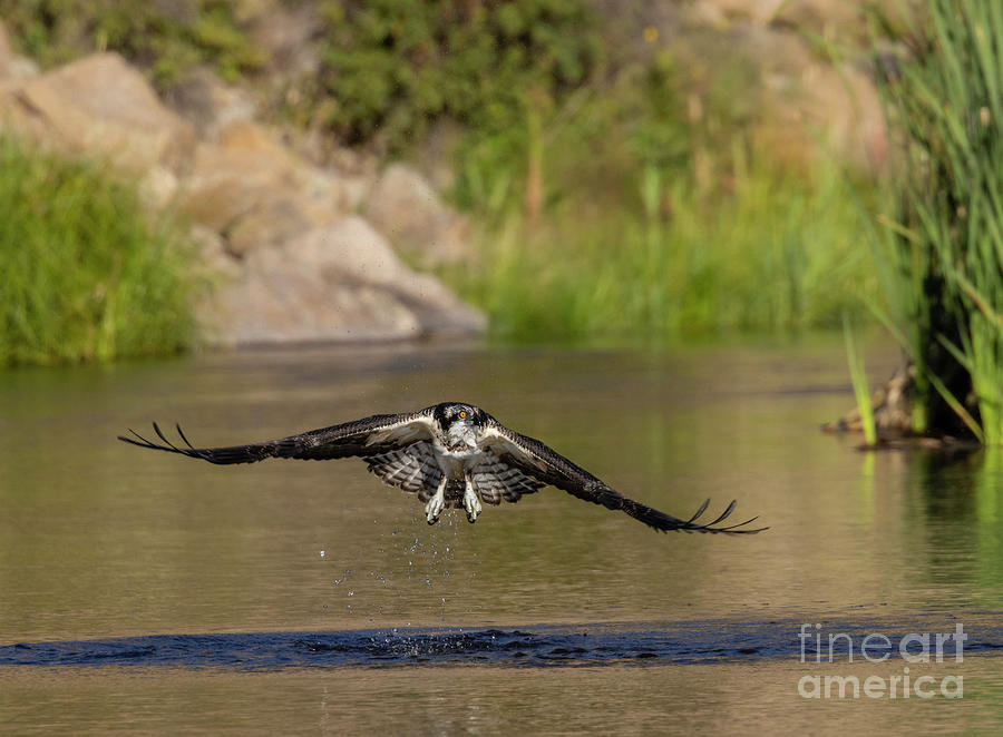 Osprey Flying Low Photograph