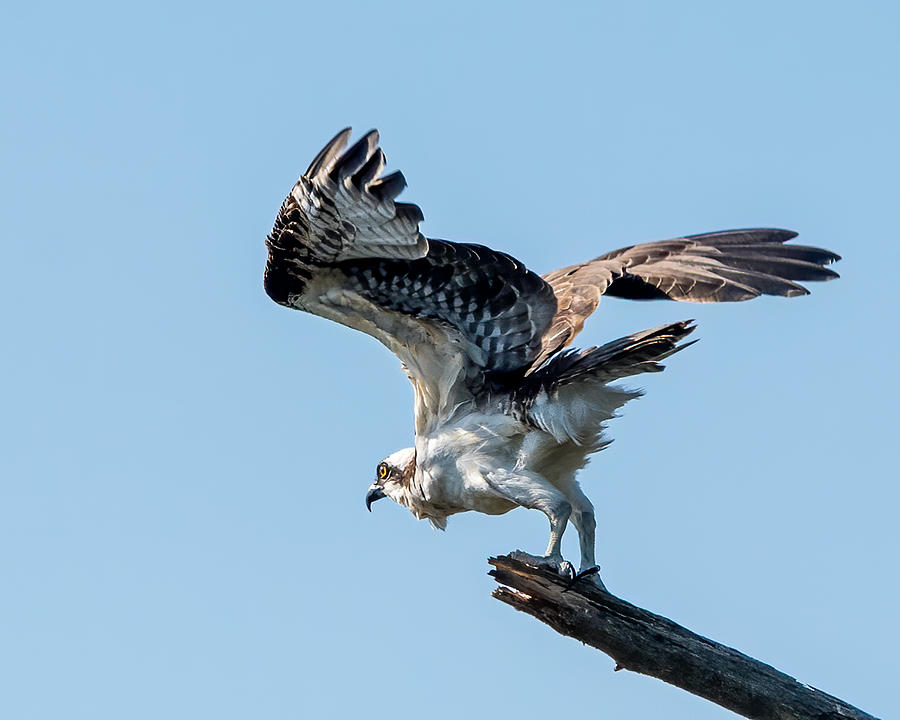 Osprey Launch 2 Photograph by Larry Maras