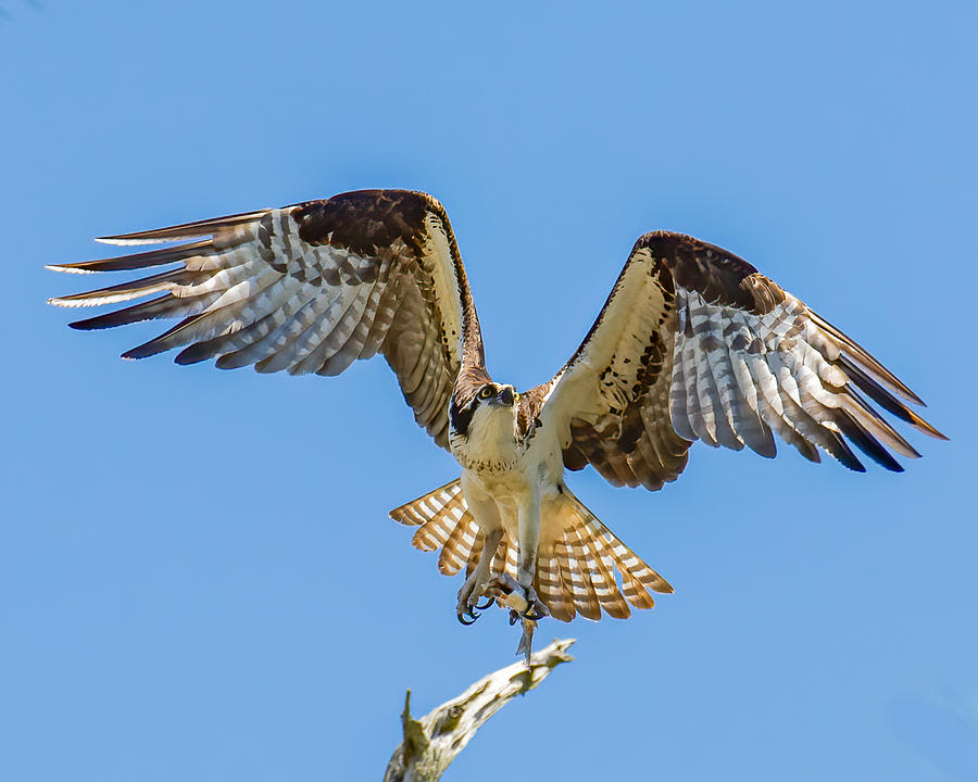 Osprey Launch Photograph by Larry Maras