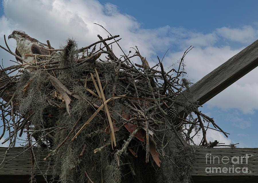 Osprey Nest - Fish Hawk - Predator Of The Skies Photograph