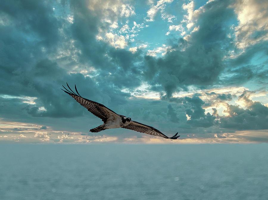 Osprey on hunt by Paul Ross