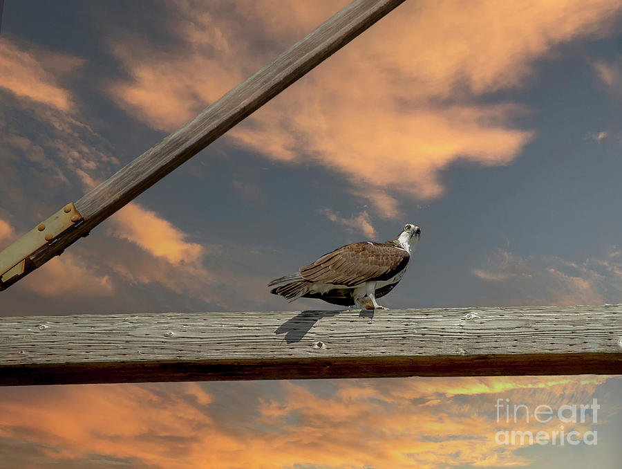 Osprey - Sea Hawk - Fish Dinner Photograph