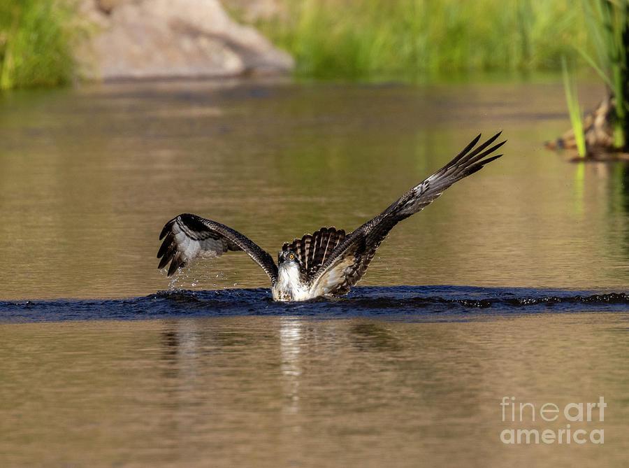 Osprey Splashing Down Photograph