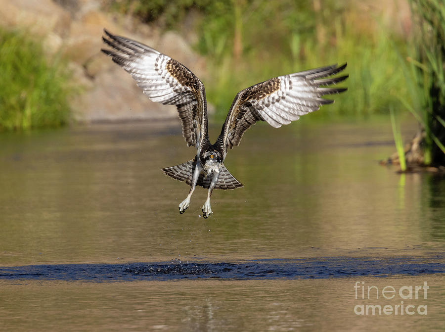 Osprey Taking Flight Over Water Photograph