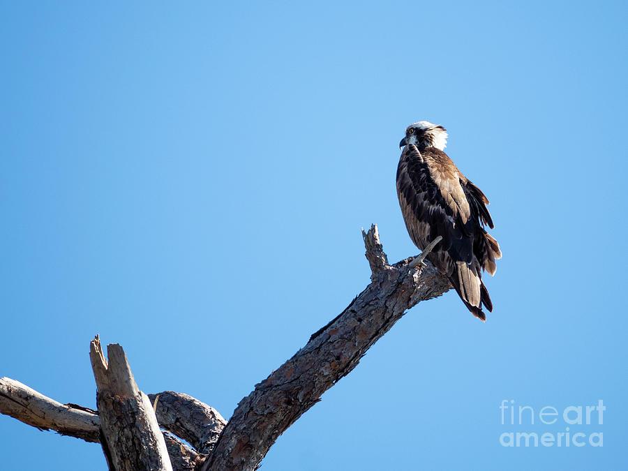 Osprey Photograph
