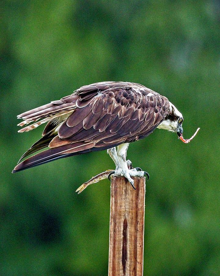 Osprey Photograph - Osprey VS Mullet by John Bates