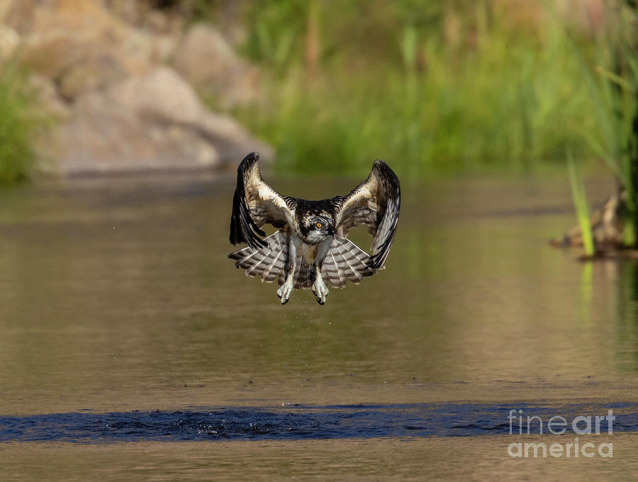 Osprey Winging Over The South Platte Photograph