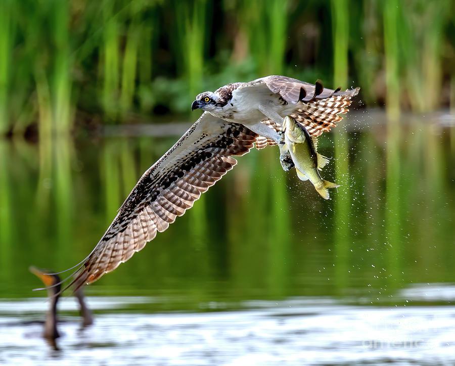 Osprey Photograph - Osprey With Largemouth Bass by Dale Erickson