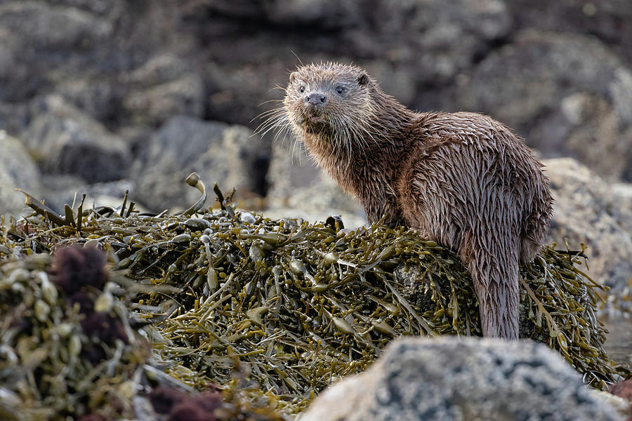 Otter Cub Looks Back by Peter Walkden