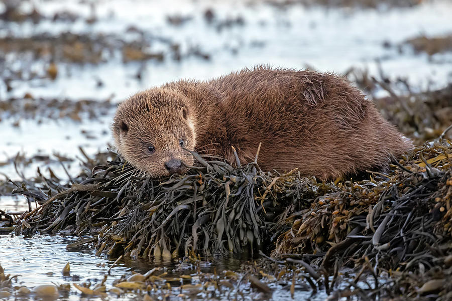 Otter Cub On Seaweed by Peter Walkden