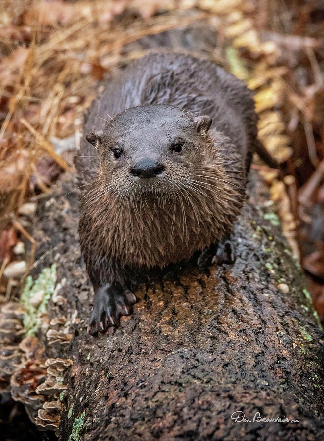 Otter On A Log 4867 Photograph